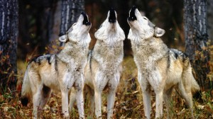 223406-wolves3-howling-wolves